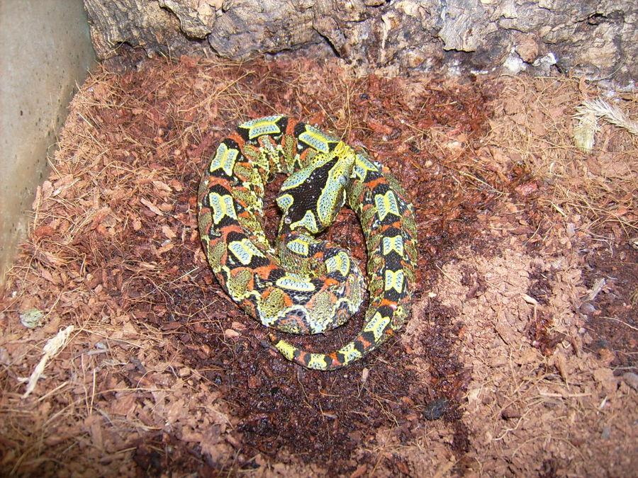 Jungtier,Nashornviper(Bitis nasicornis) Uganda Ituri Forest