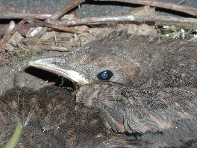 Jungvogel im Nest (2)