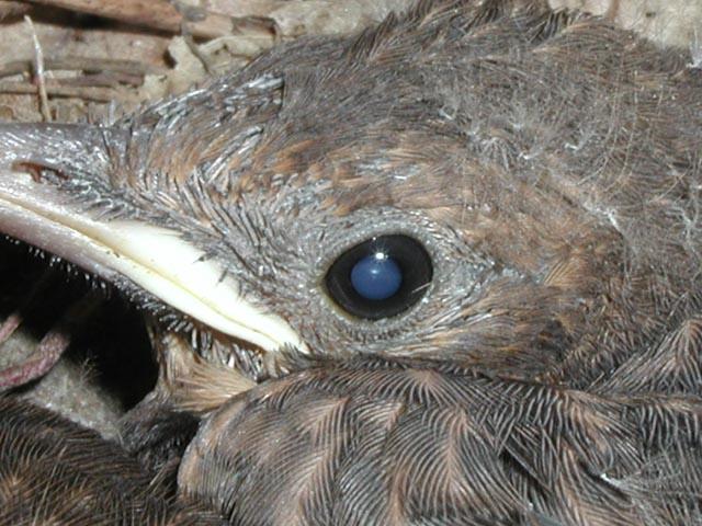 Jungvolgel im Nest (1)