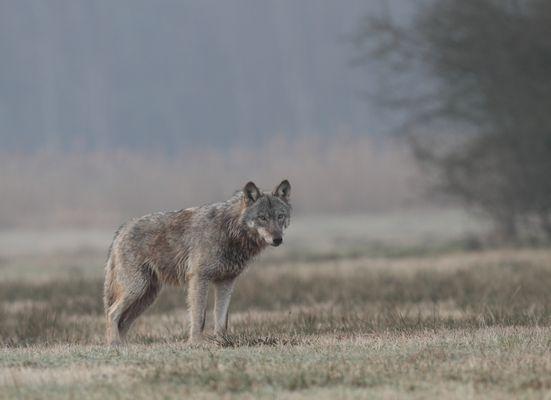 Jungwolf 28.2.16