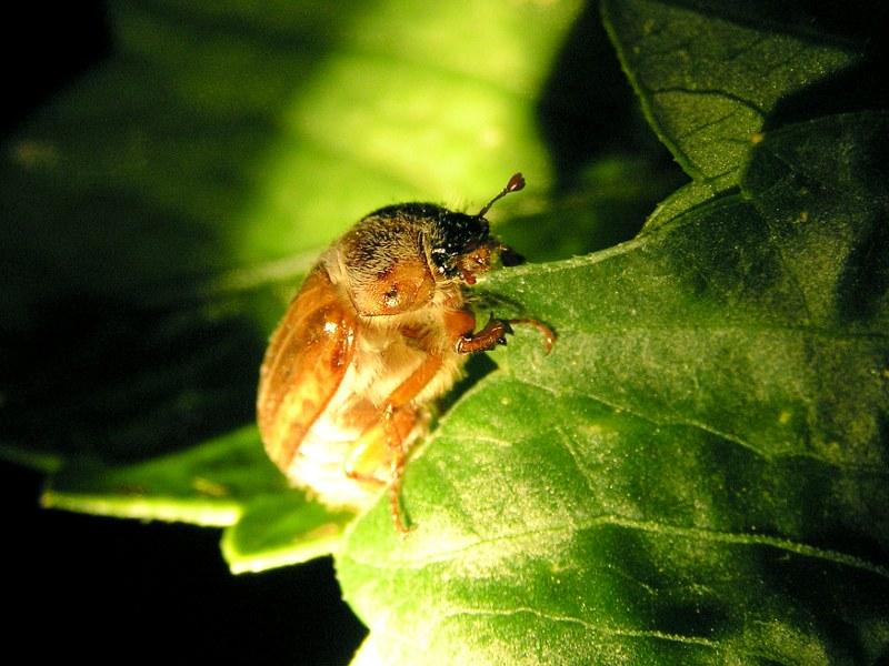Junikäfer (Weibchen)