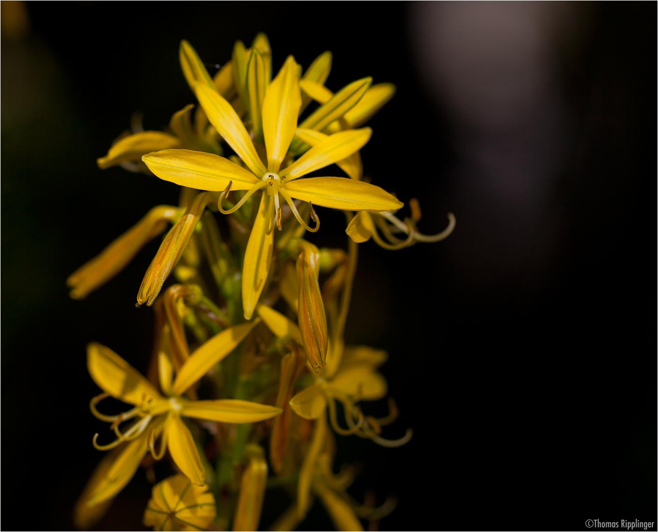 Junkerlilie (Asphodeline lutea)