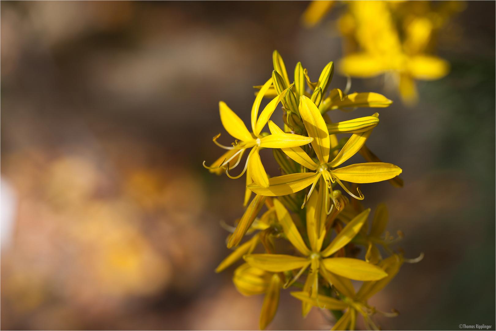Junkerlilie (Asphodeline lutea)..