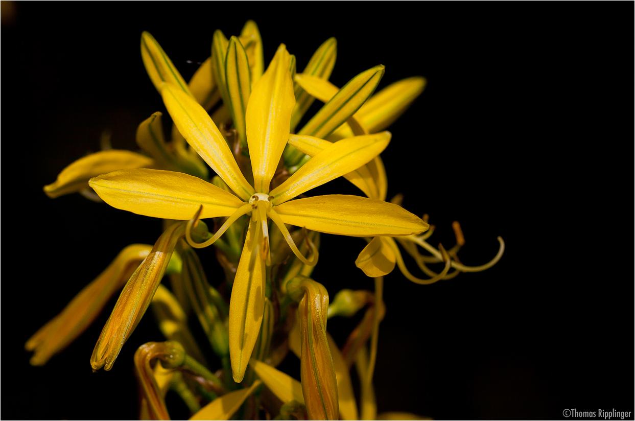 Junkerlilie (Asphodeline lutea).