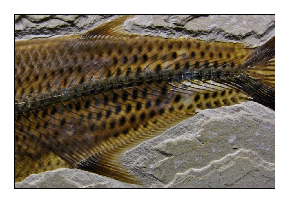 Jura-Forelle