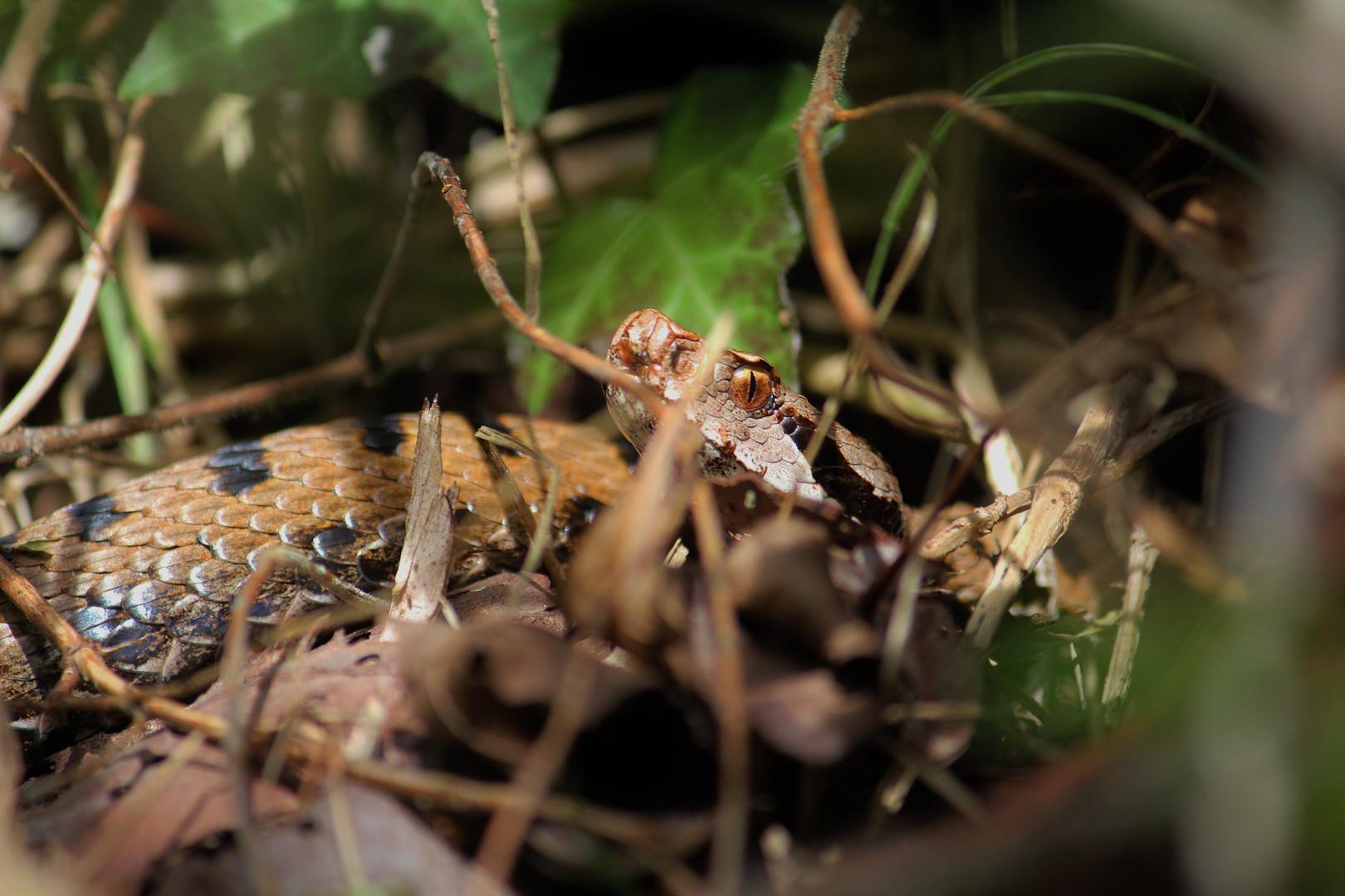 Juraviper im Herbst.