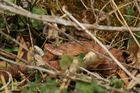 Juraviper ( Vipera a.aspis)