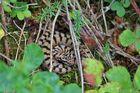 Juraviper (Vipera a.aspis)