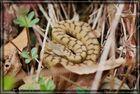 Juraviper ( Vipera a.aspis) Nord-Jura 1.