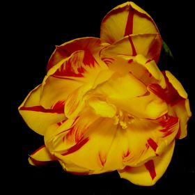 Macro Tulipes