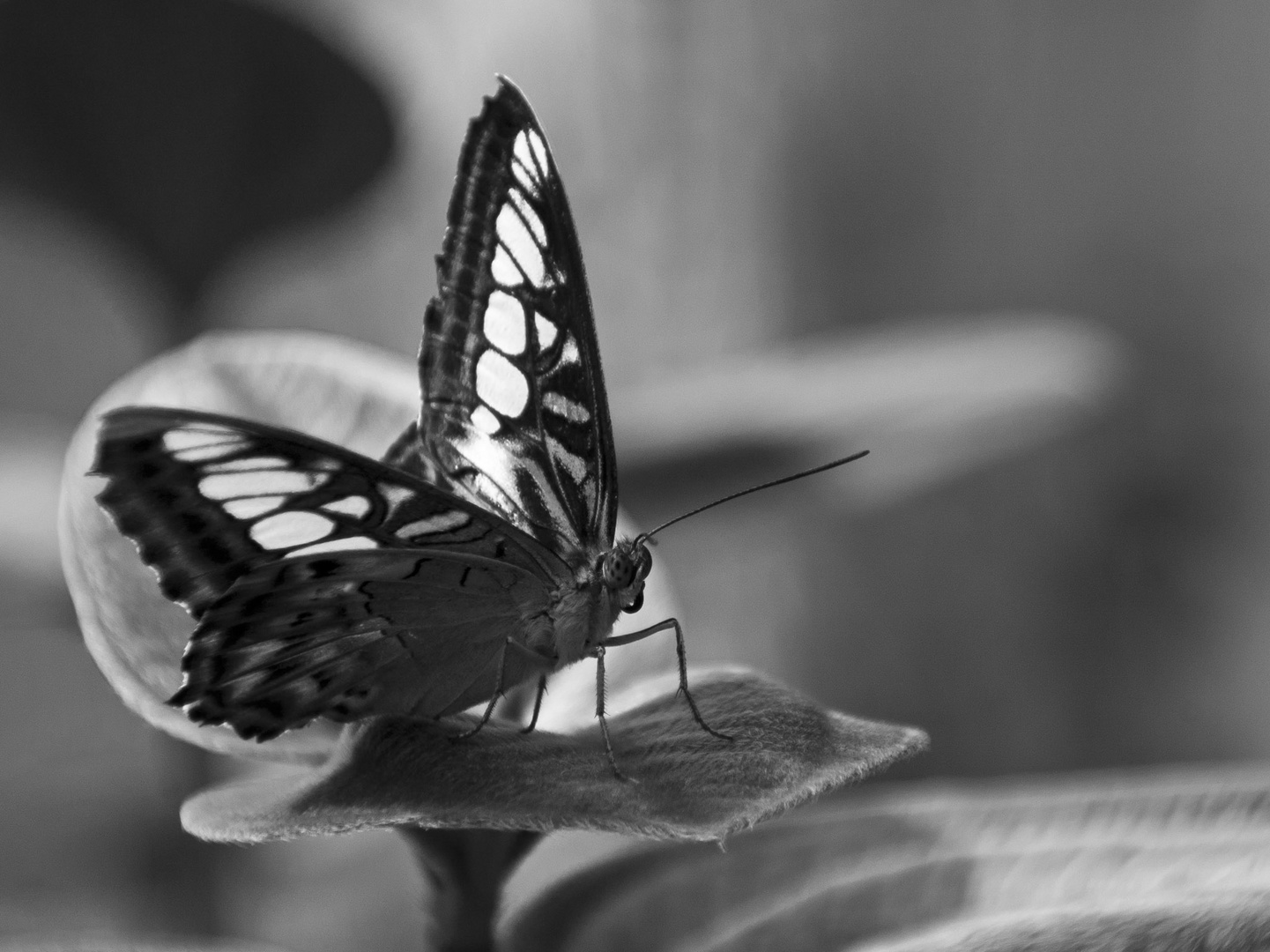 Just a Butterfly, b&w