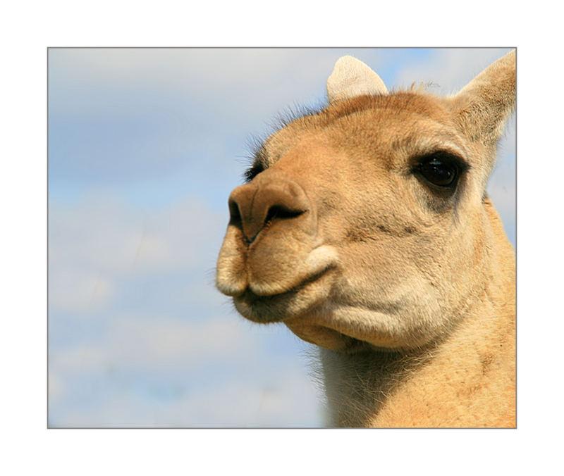 Just a Lama