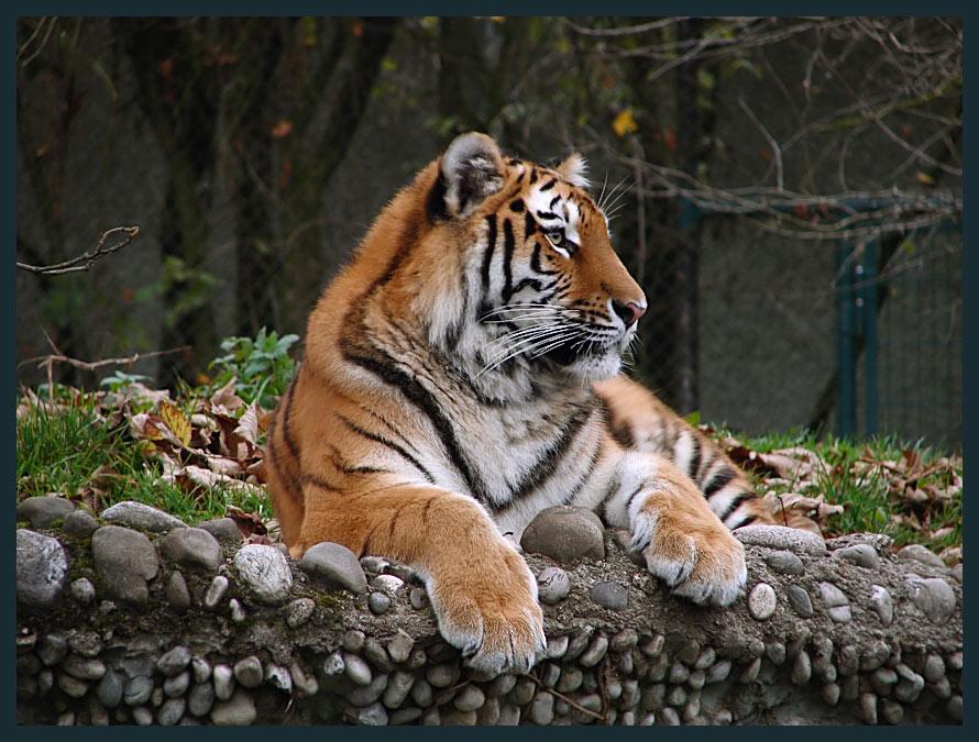 Just a little tiger