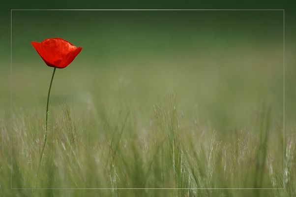 Just another boring Mohn