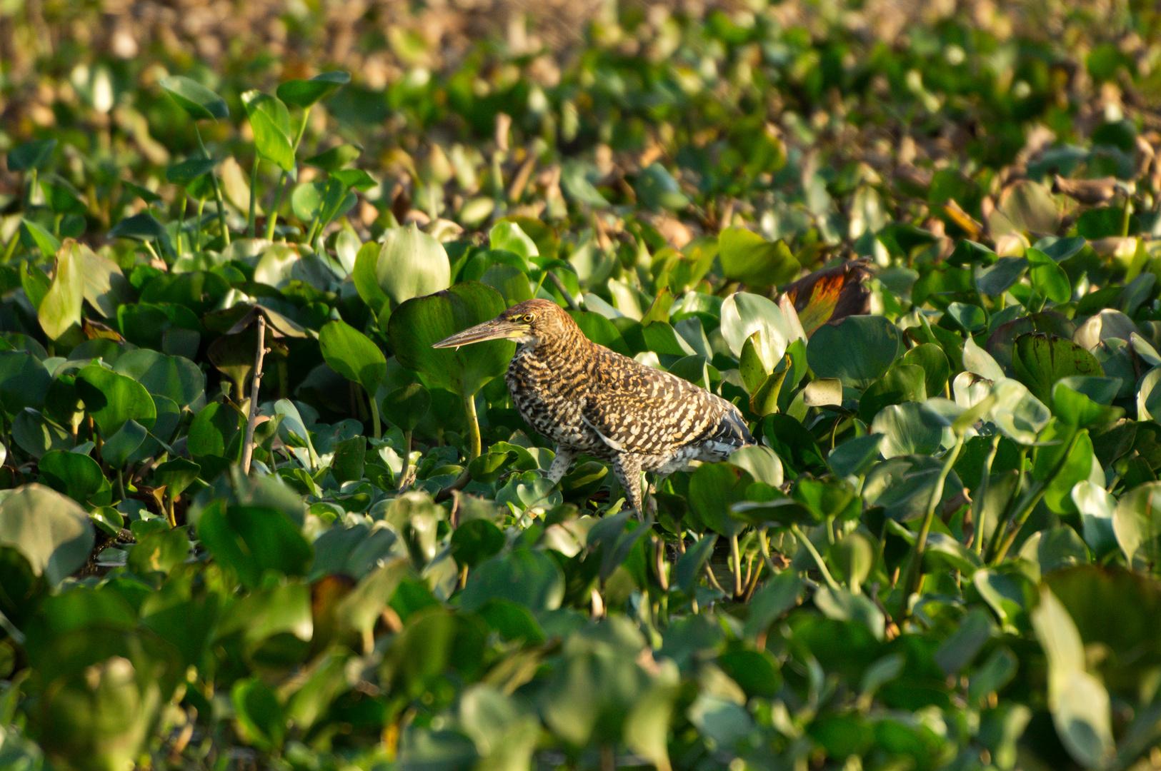 juv. Marmorreiher Pantanal