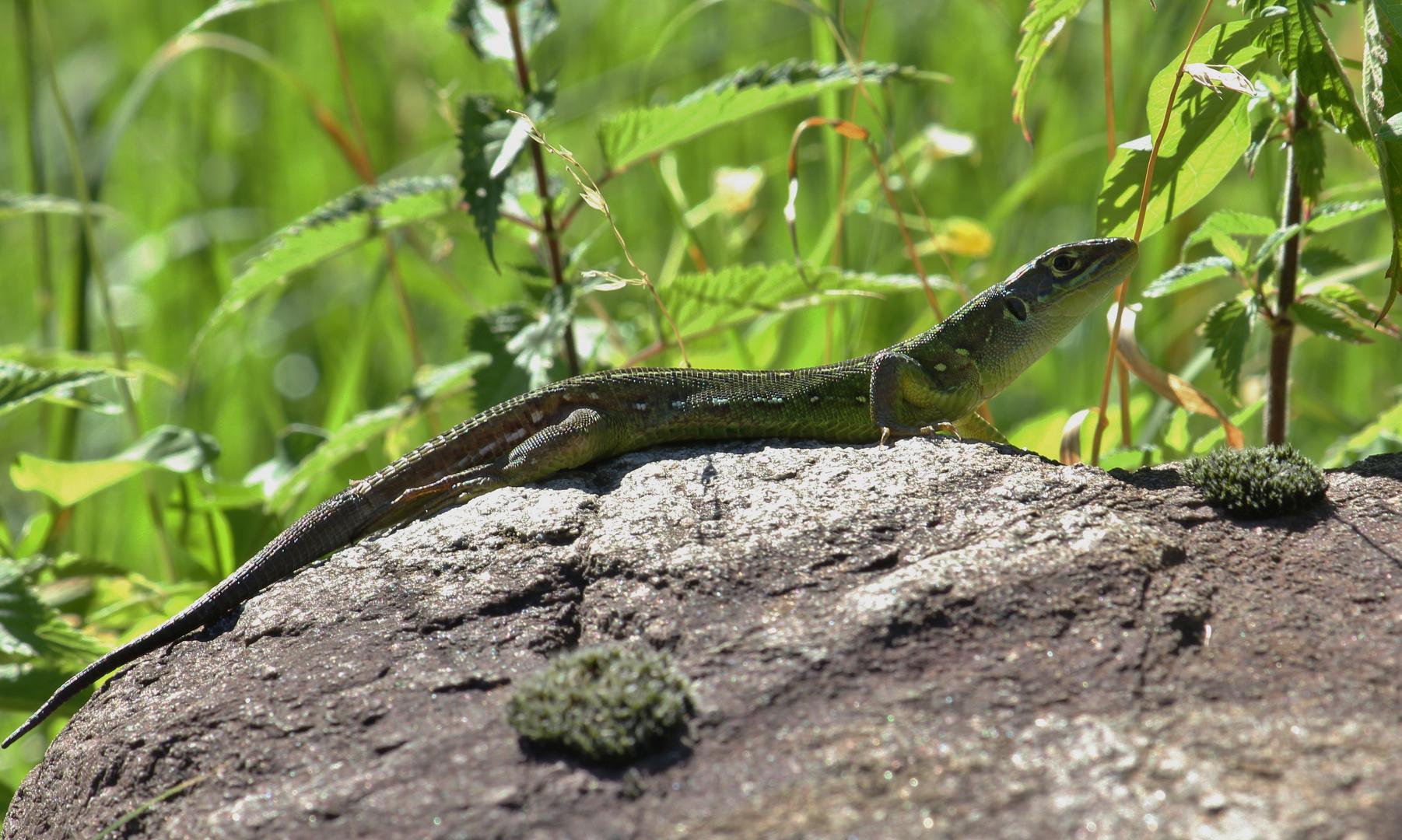 Juvenile Smaragdeidechse (Lacerta bilineata)