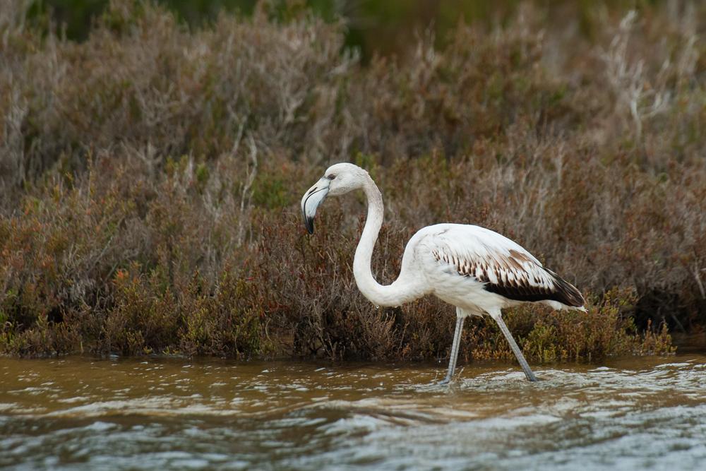 Juveniler Flamingo (Ses Salines, Mallorca)