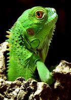 Juveniler Grüner Leguan