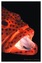 Juwelenbarsch mit Putzerfisch - Malediven