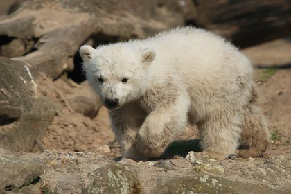 Eisbärenkinder