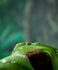 Ka - Die listige Schlange