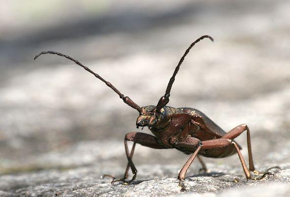 Käfer?