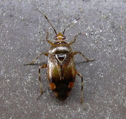 Käfer 3mm groß...