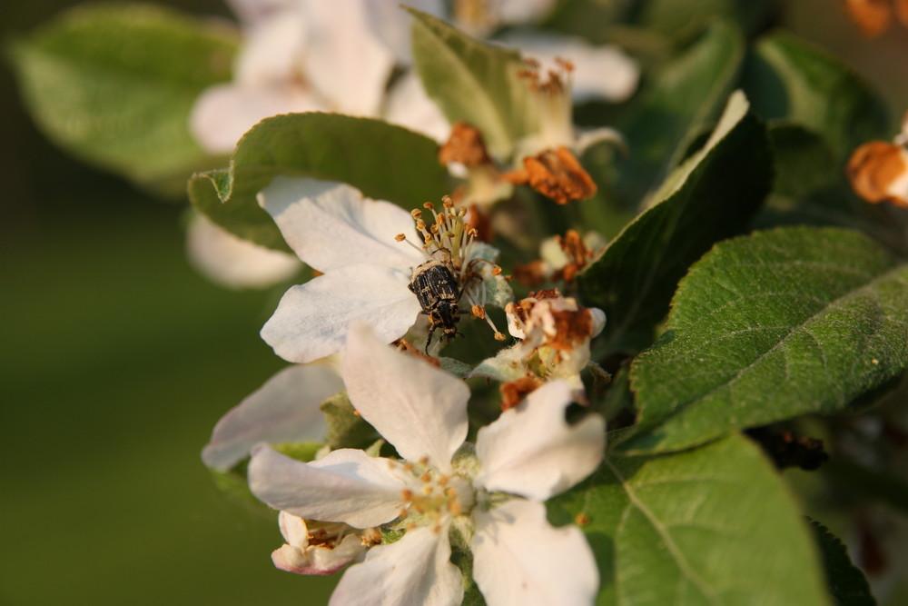 Käfer auf Apfelbaumblüte