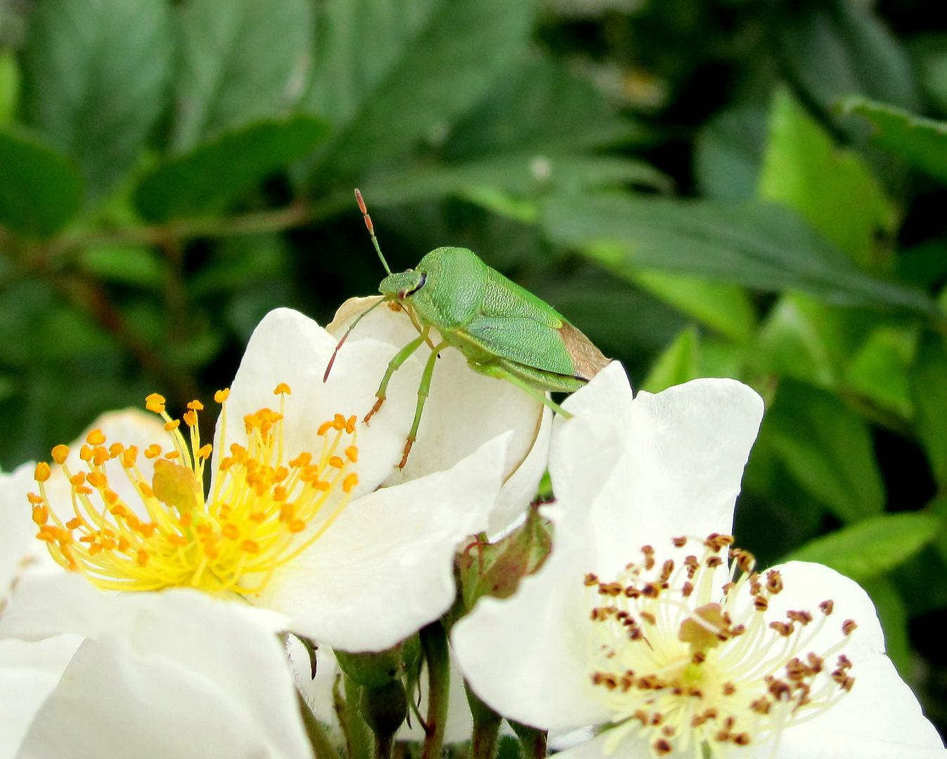 Käfer auf Blüte
