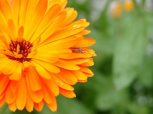 Käfer auf Blume