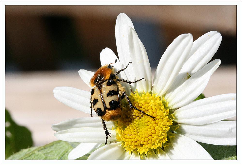 Käfer auf Blume.....