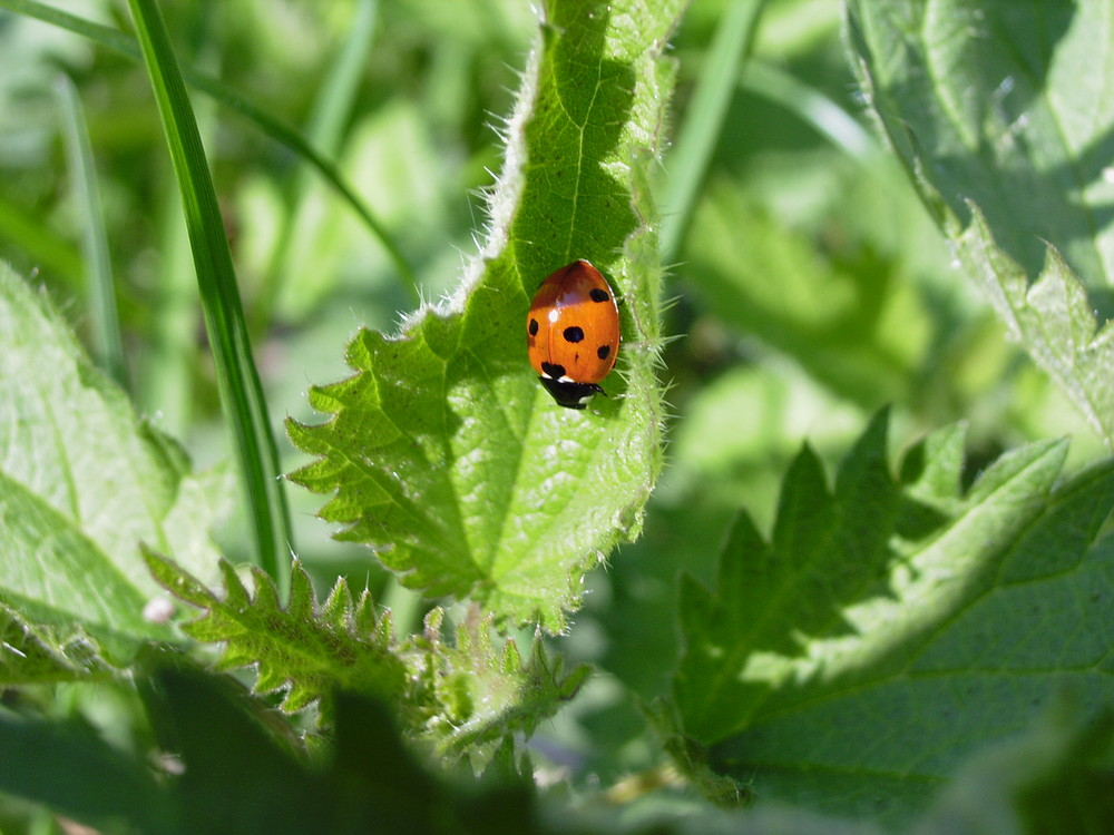 Käfer auf Brennessel