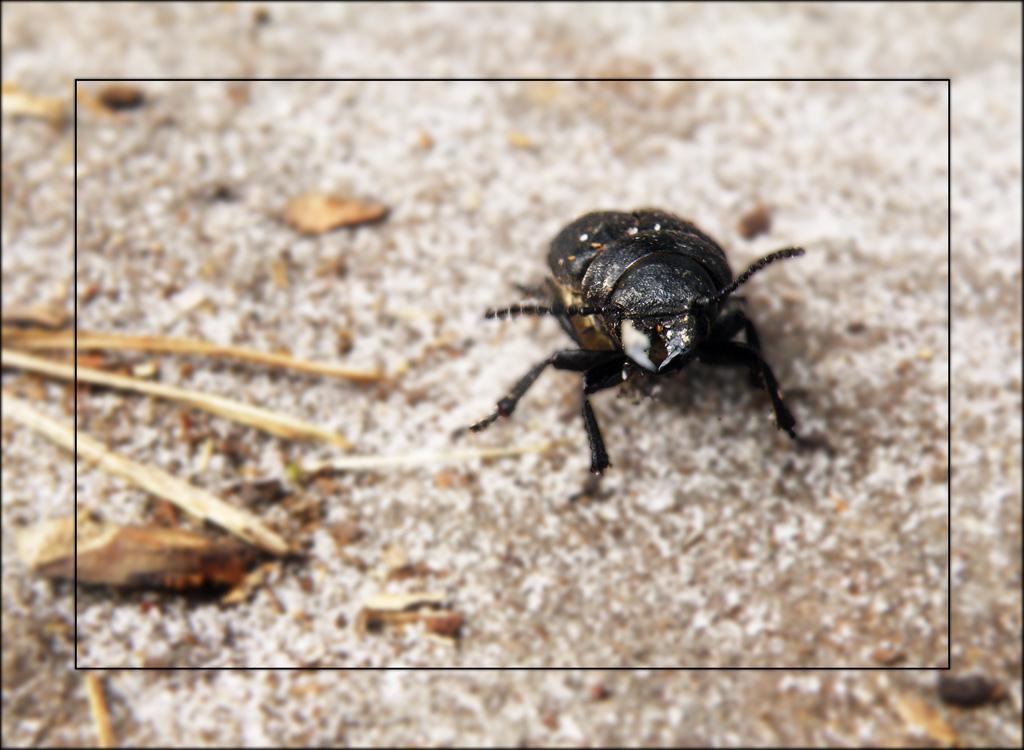 Käfer auf dem Felsen