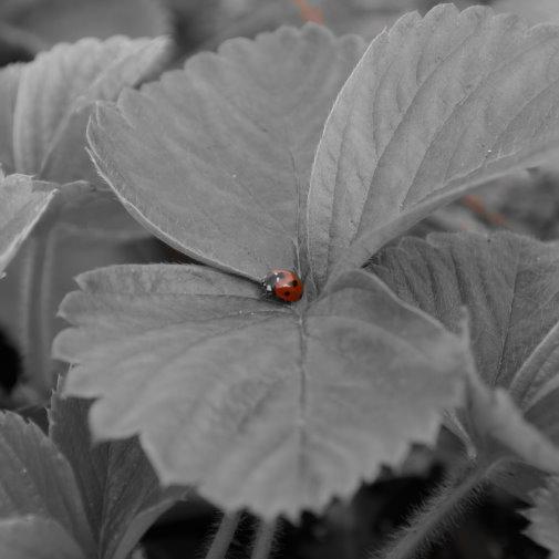 Käfer auf Erdbeere