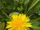 Käfer auf gelber Blüte