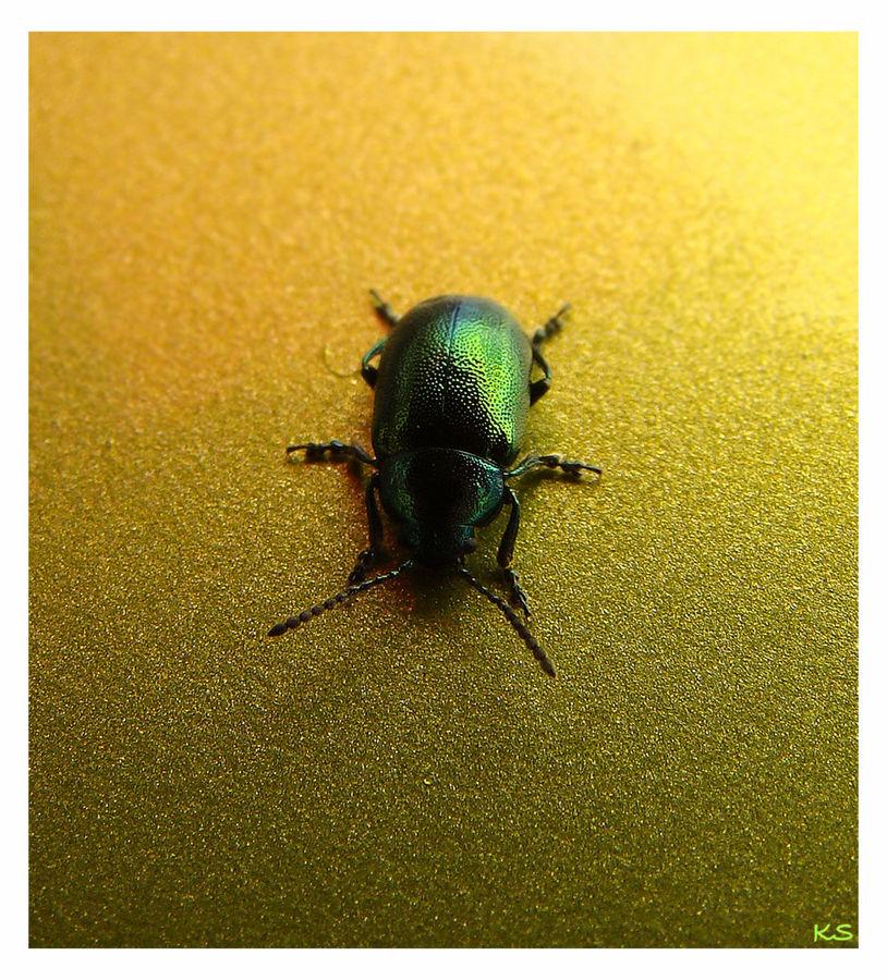 Käfer auf goldenen Boden