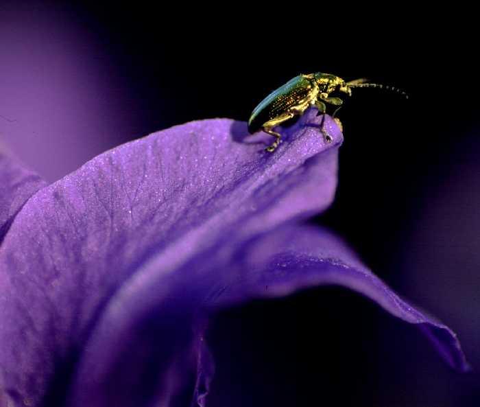 Käfer auf Iris im Abendlicht