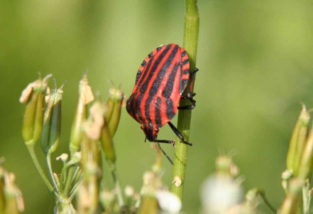 Käfer auf Nahrungssuche
