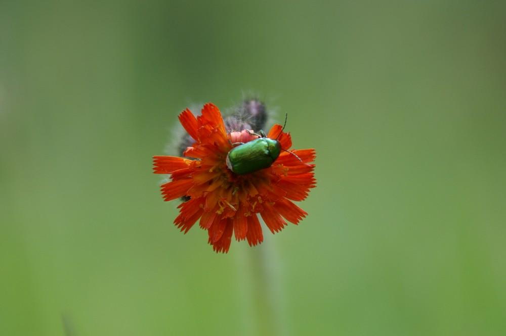 Käfer auf Rotem Habichtskraut