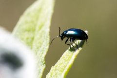 Käfer auf Sommerflieder