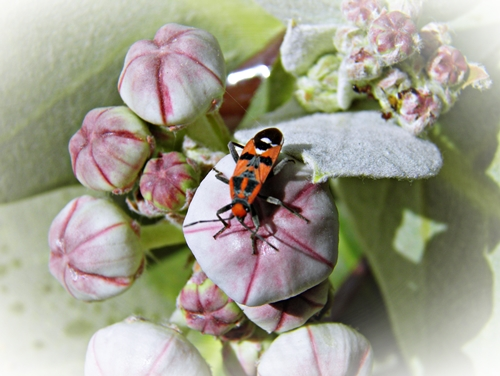 Kaefer auf Wuestenblumebluete