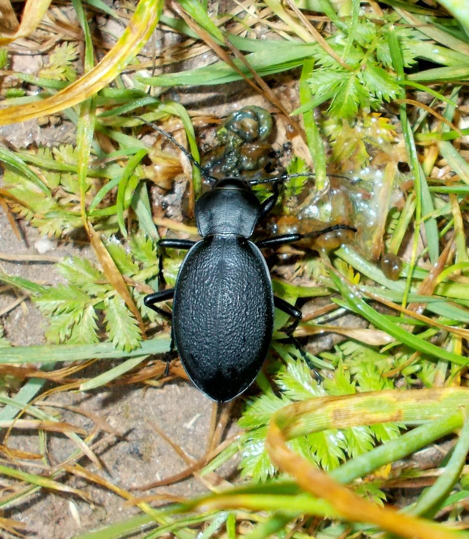 Käfer beim Frühstück