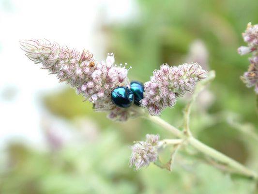 Käfer - blau