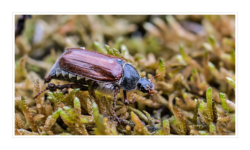 ~ Käfer des Monats ~