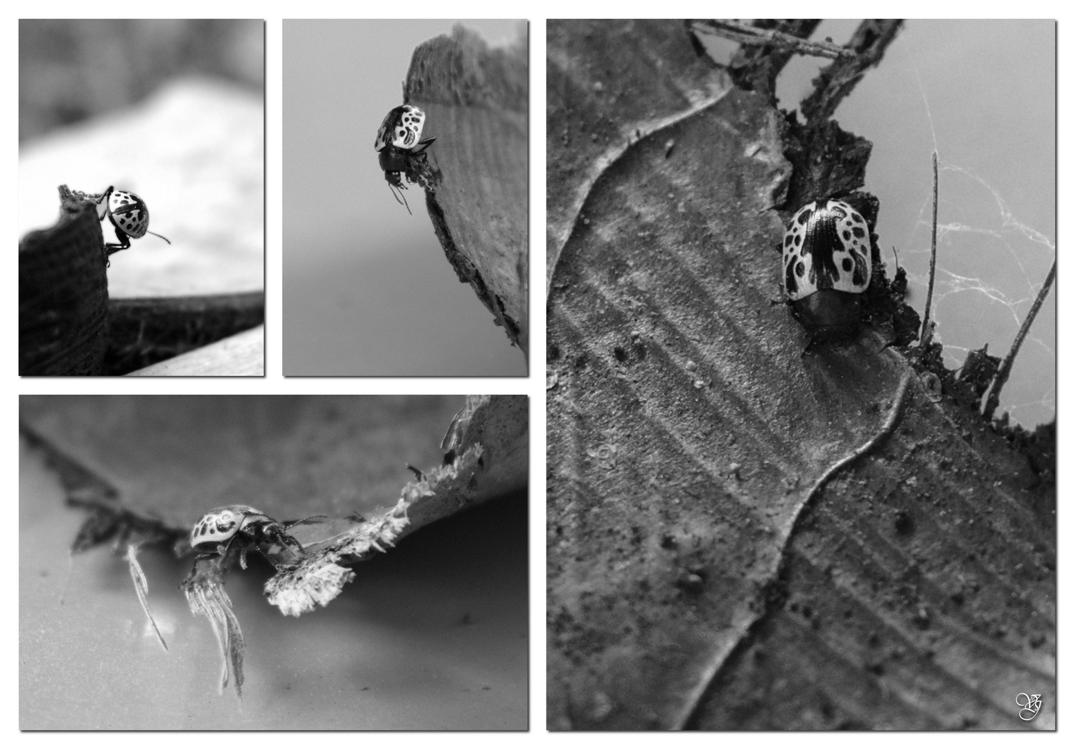 Käfer - Escarabajo             (Calligrapha amator)