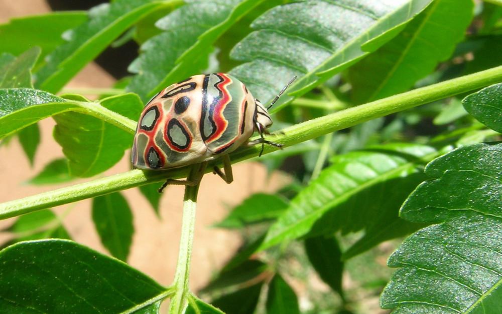 Käfer - ich korrigiere - Wanze, aber handbemalt