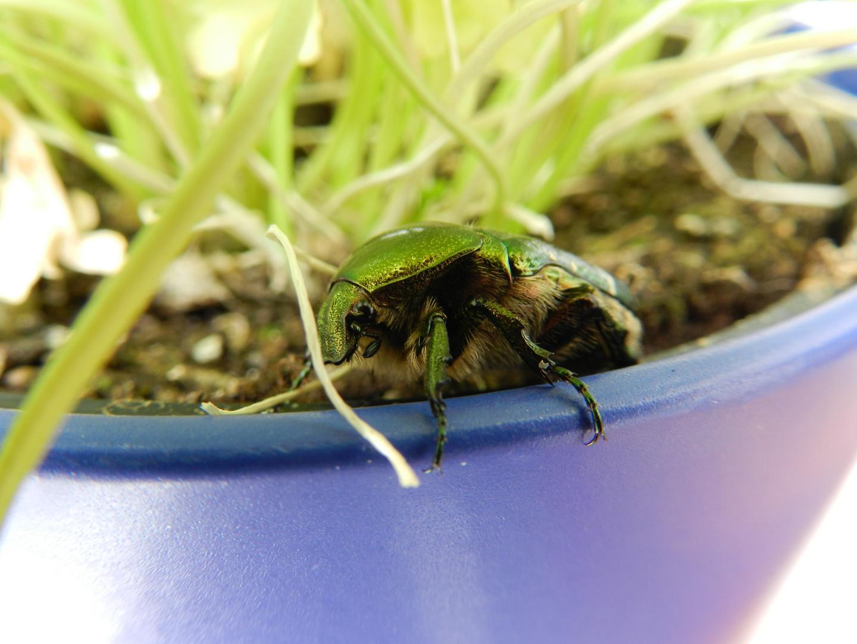 Käfer im Blumentopf