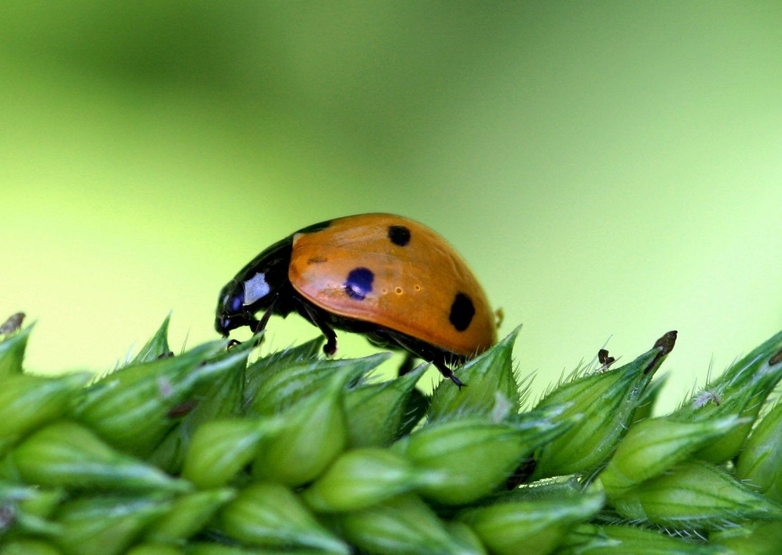 Käfer im Glück