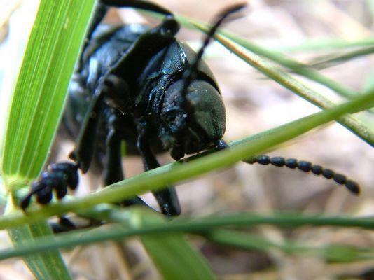 Käfer im Gras