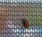 Käfer im Netz